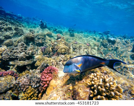 Coral and fish in the Red Sea. In front is Red Sea surgeonfish, in background coral garden and blue sea with other coral fish. Safaga, Egypt. - stock photo