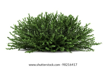 coral beauty bush isolated on white background - stock photo