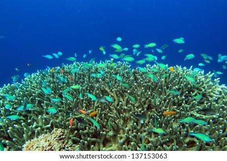 Coral colony and coral fish. Bali Sea. Indonesia - stock photo