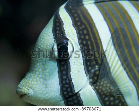 coral fish Zebrasoma veliferum close up - stock photo