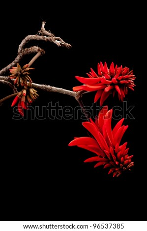 Coral flower (Erythrina) - stock photo