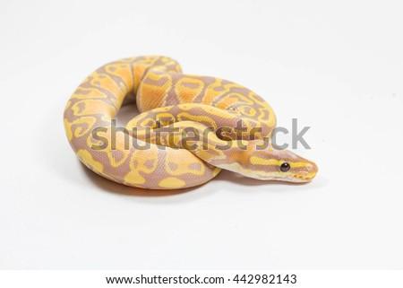 coral glow ball python on white background  - stock photo