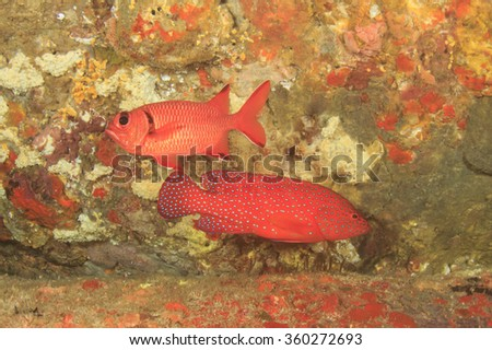 Coral Grouper and Squirrelfish fish on reef - stock photo