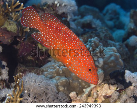 Coral hind in Red sea, Egypt - stock photo