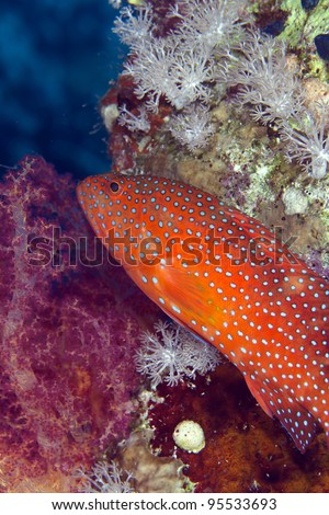 Coral hind in the Red Sea - stock photo