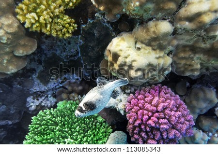 Coral  in the Red Sea.Masked Puffer.Egypt - stock photo