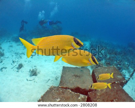 Coral Rabittfish / Sinefoot (Siganus Corallinus) swimming in clear water, divers in background - stock photo
