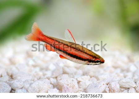 Coral Red Arc Pencilfish Nannostomus mortenthaleri aquarium Pencil fish - stock photo