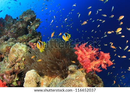 Coral Reef, Fish, Anemone, Underwater in Red Sea - stock photo
