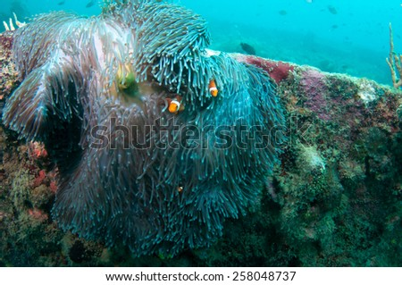 Coral reef growing on shipwreck, diving in Coron , Palawan, Philippines. - stock photo