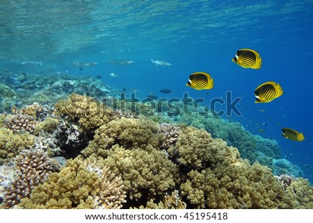 Coral reef in Red sea with yellow fish - stock photo