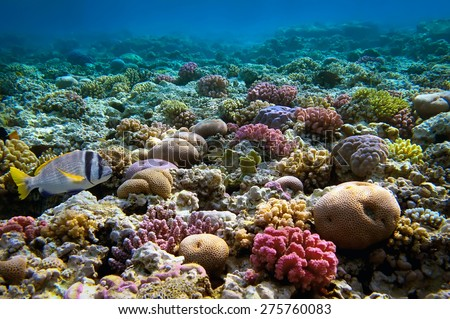 Coral reef, Red Sea, Egypt. - stock photo