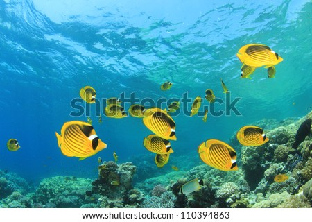 Coral Reef Scene with Red Sea Raccoon Butterflyfishes - stock photo