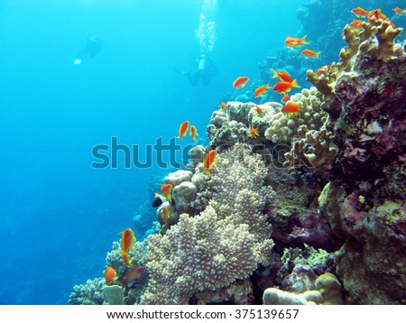 coral reef with  divers and exotic fishes anthias at the bottom of tropical sea on blue water background - stock photo