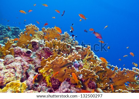 coral reef with fire coral and exotic fishes at the bottom of colorful tropical sea - stock photo