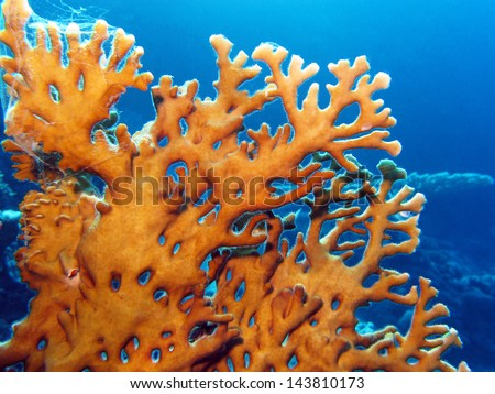 coral reef with great yellow  fire coral at the bottom of tropical sea on blue water background - stock photo