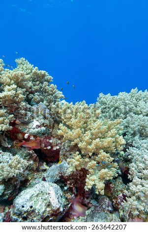 coral reef with hard and soft corals at the bottom of tropical sea on a background of blue water, underwater - stock photo