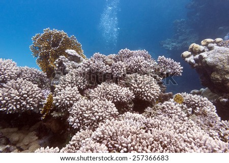 coral reef with hard coral at the bottom of tropical sea on a background of blue water - stock photo