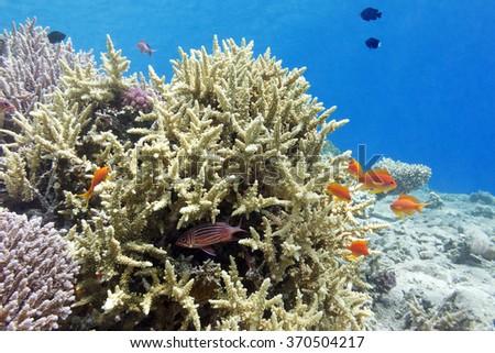 coral reef with hard corals and fishes athias in tropical sea, underwater. - stock photo