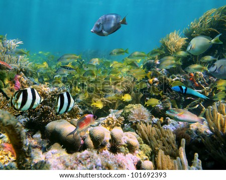 Coral reef with school of colorful tropical fish in the Caribbean sea - stock photo