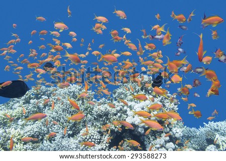 coral reef with shoal of exotic fishes Anthias at the bottom of tropical sea, underwater - stock photo