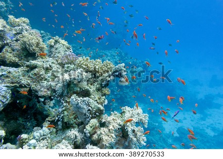 coral reef with soft and hard corals and exotic fishes anthias in tropical sea  on blue water background, underwater - stock photo