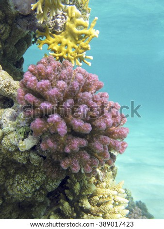 coral reef with violet hard corals poccillopora at the bottom of tropical sea on blue water background - stock photo