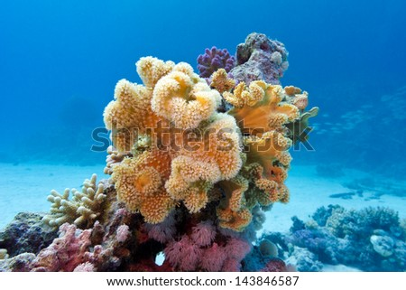 coral reef with yellow soft coral  sarcophyton at the bottom of red sea in egypt on blue water background - stock photo
