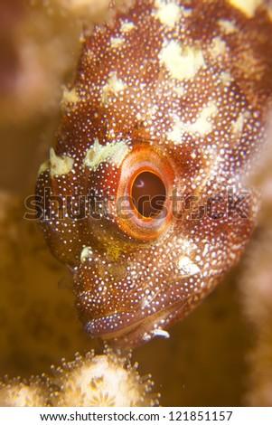 Coral scorpionfish (Sebastapistes cyanostigma) - stock photo