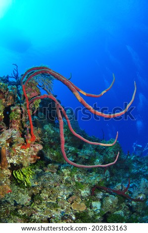 Coral Whips on the Reef with dive boat silhouette, Grand Cayman - stock photo