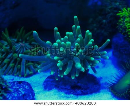 Corals in the aquarium Light Black Light  - stock photo