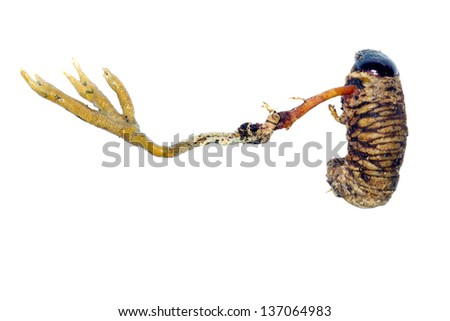 Cordyceps fungus (Metacordyceps sp.) infecting a large beetle larva. Dug out of a rotting log in rainforest, Ecuador - stock photo
