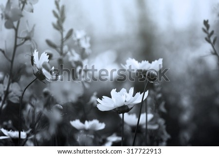 coreopsis flowers, black and white image - stock photo