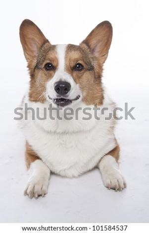 corgi pembroke in studio in front of a white background - stock photo