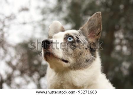 Corgi watching a squirrel climbing a tree - stock photo