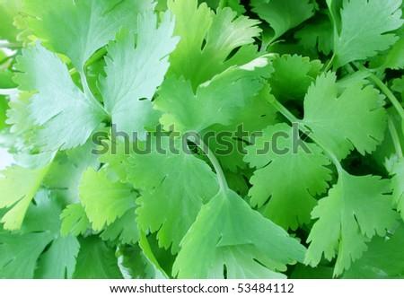 coriander - stock photo