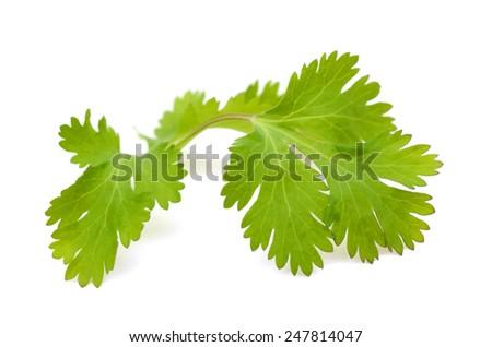 Coriander leaves isolated on white background - stock photo