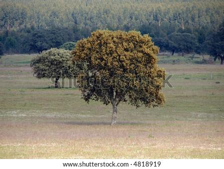 cork prodution trees in portugal - stock photo