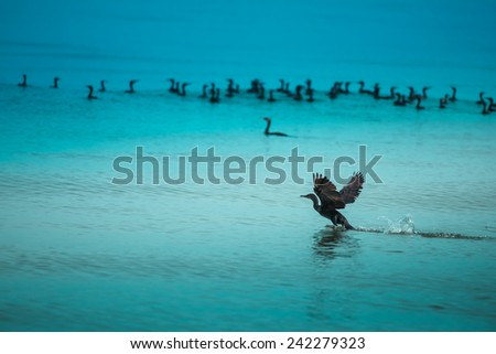 Cormorants or Shags floating in blue sea shore. First on took off. - stock photo
