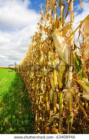 Corn Before Harvest - stock photo
