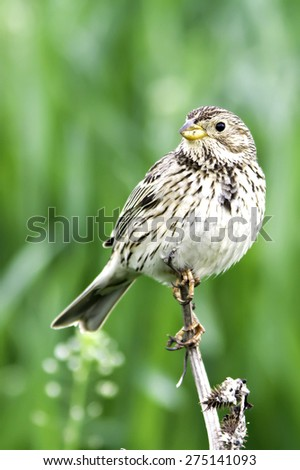 Corn bunting in natural habitat / Emberiza ( Miliaria) calandra - stock photo