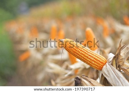 Corn crop ready for harvest. - stock photo