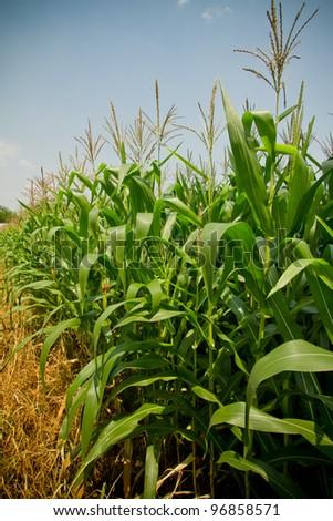 Corn farm. - stock photo