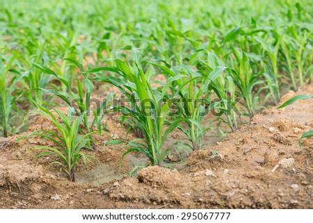 corn farm in urban of Thailand - stock photo
