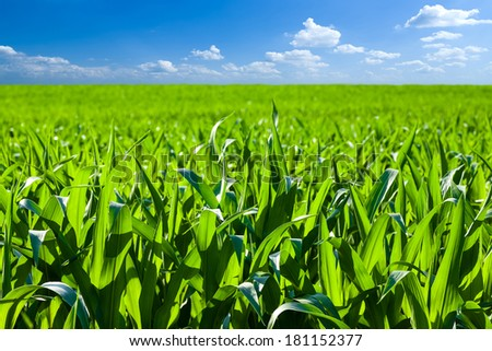 Corn field - stock photo