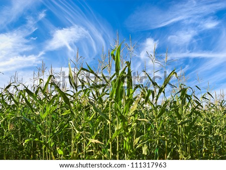 Corn field against cloudy sky - stock photo