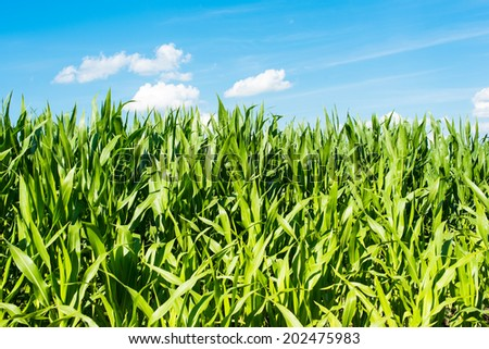 corn field against the blue sky - stock photo