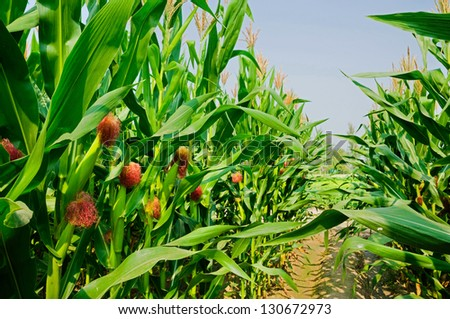 Corn field and corn on the cob. - stock photo
