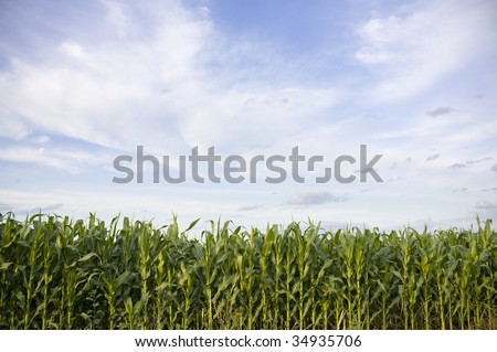 Corn field and sky - stock photo