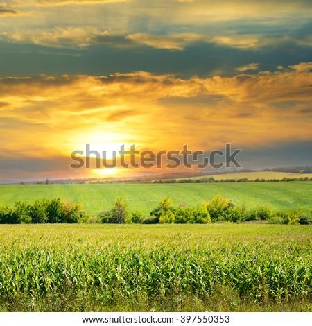 corn field and sunrise on blue sky - stock photo